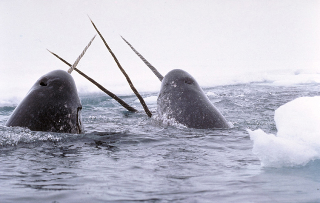 Narwhal Facts | Unicorn Whales