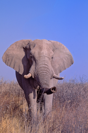 African Elephant Facts For Kids Elephants African Animals
