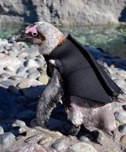 Penguin in wetsuit
