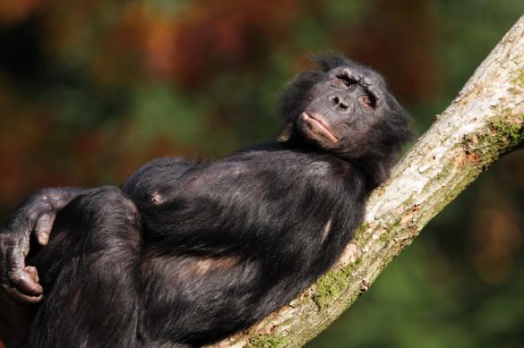 Bonobo lying down