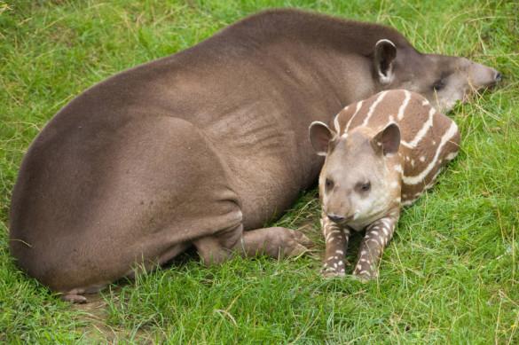 Brazilian tapir and baby