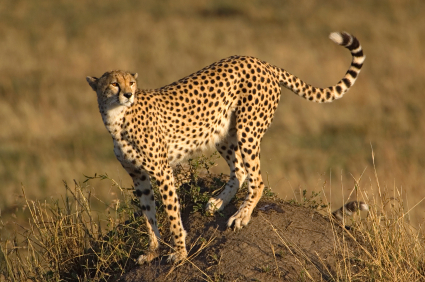 Cheetah Facts For Kids Big Cats African Animals