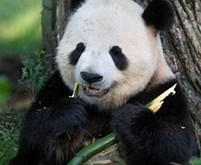 Giant Panda Bear Facts Endangered Animals