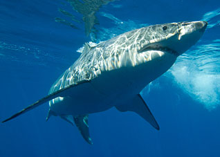 great white shark facts great white shark