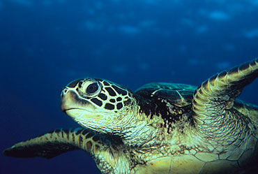 Image of: Hawaiian Monk Green Sea Turtle All About Wildlife Green Sea Turtle Facts For Kids Endangered Animals