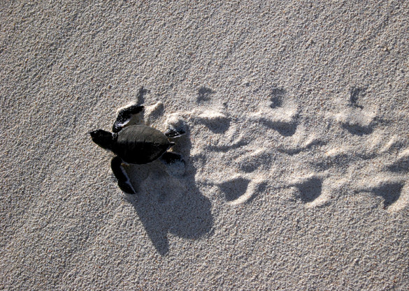 Green turtle hatchling on beach.
