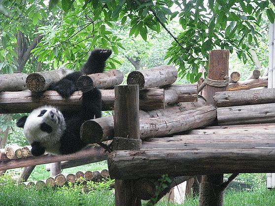 Panda on fence