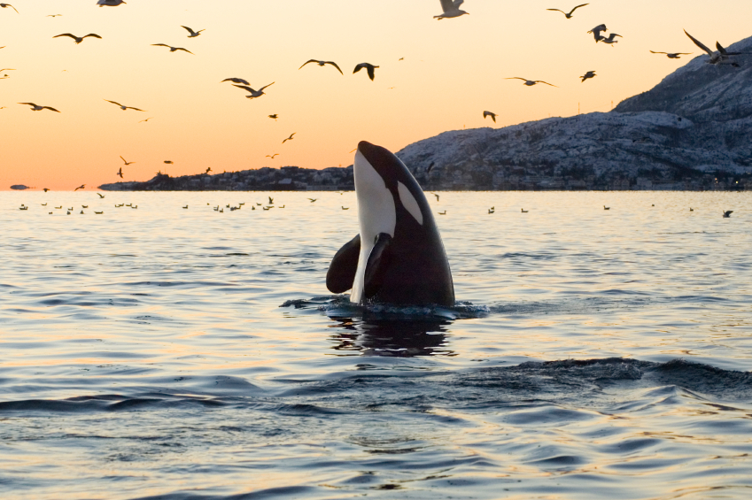 Killer Whale Facts | Orca Facts for Kids