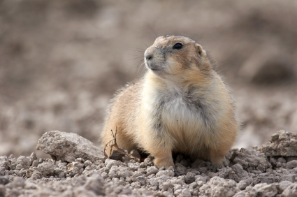 Prairie dog looking
