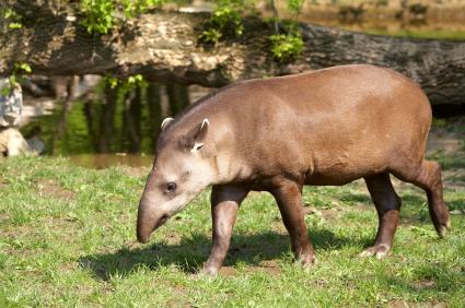 Brazilian Tapir Facts for Kids