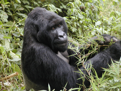 habitat loss of mountain gorillas Seeing mountain gorillas in the wild is an incredible experience i have wonderful memories of infant gorillas playing with each other and rolly-pollying down the mountain slopes and of the silverback male majestically sitting across from me, using a soft grunting noise to keep check on the rest of his group.