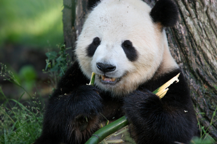 information about panda bears