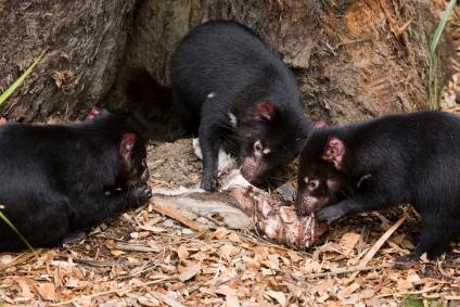 Tasmanian Devil Facts | Australian Marsupials | Endangered Animals