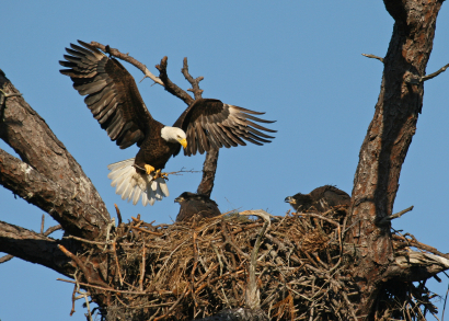 Bald Eagle Eyrie And Chicks