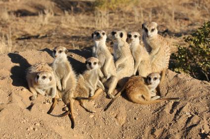 How do meerkats survive in their habitat?
