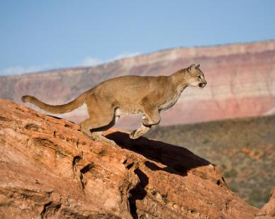 cougar facts puma mountain lion panther