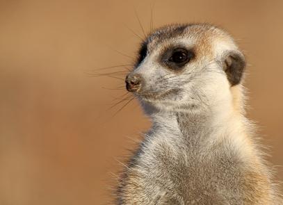 Meerkat Facts   Suricat