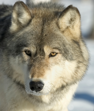 Gray Wolf  Pictures Facts and Map  Kids