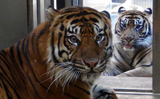 Two Sumatran tigers