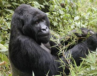 Mountain Gorilla Facts | Endangered Animals