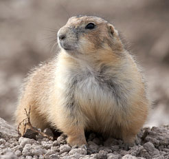 Black Tailed Prairie Dog Facts