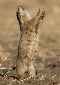 Prairie dog jump-yip call