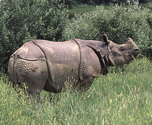 Greater One-Horned Rhinoceros | Indian Rhino Facts