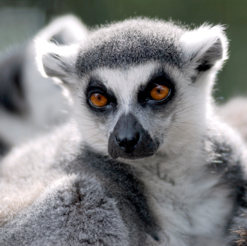 Ring-tailed Lemur Fact...