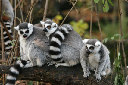 ring-tailed lemurs als...