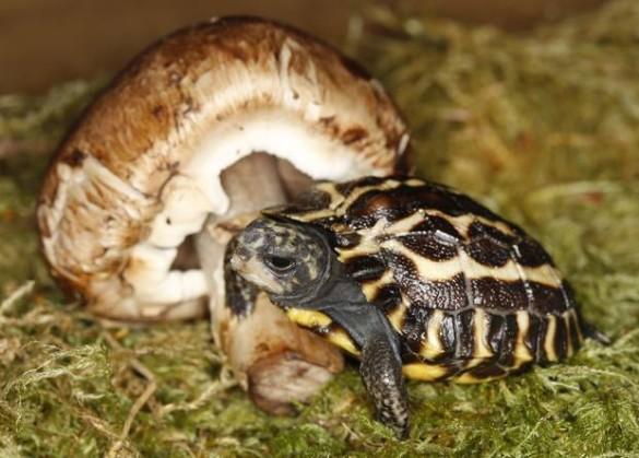 Madagascar flat-tailed tortoise hatchling.