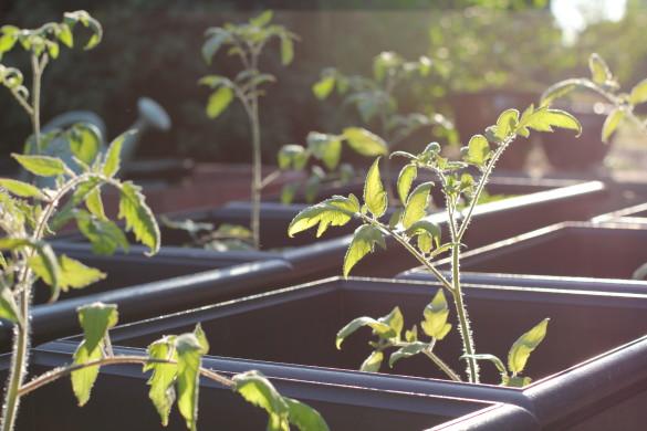 Tomato plants in backyard garden