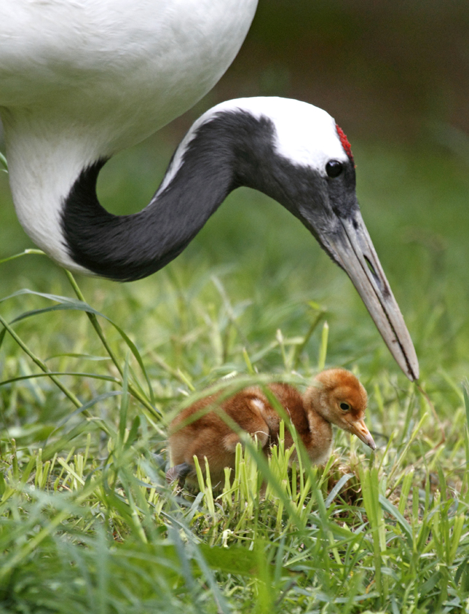 red crowned crane archives animal fact guide