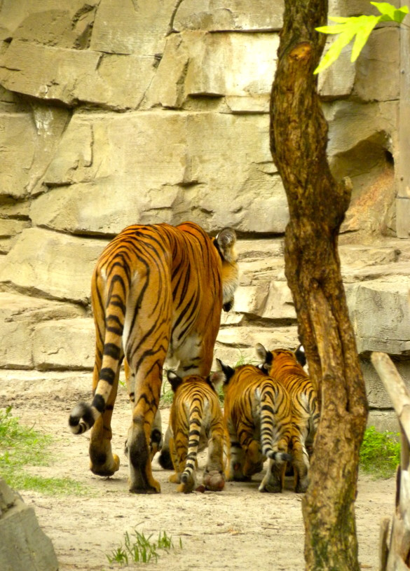 Endangered Malayan Tiger Cubs and Mom on Jungala Habitat 2