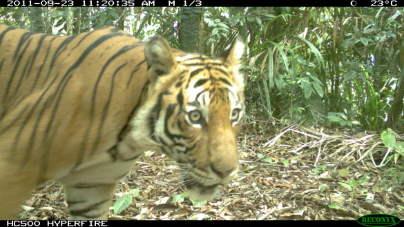 Camera trap technology helps identify key habitats tigers use to hunt and breed in the Taman Negara region. Tracked with modern software, the data allow rangers and researchers to map routes for effective anti-poaching patrols. (Credit: Ruben Clements/Rimba)