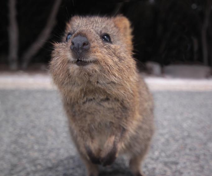 Quokka Facts | Quokkas | Australian Marsupials