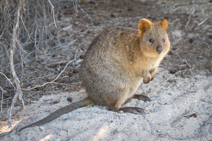 Marsupial Quokka Quokka Facts | ...