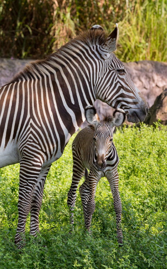 Baby Grevy's zebra and mother
