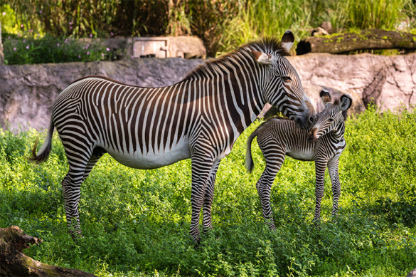 Grevy's zebra and mother.