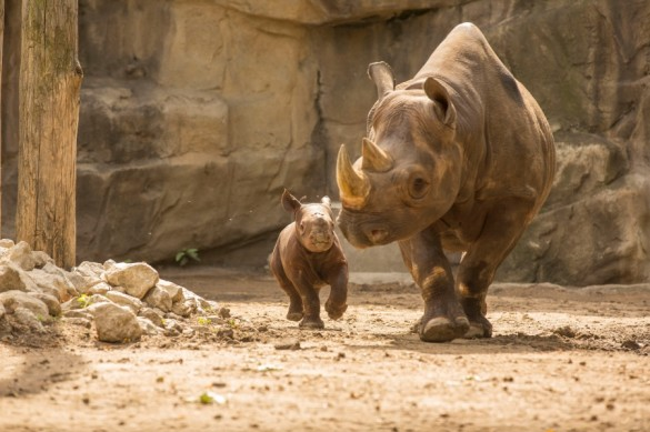 King, a baby rhino.