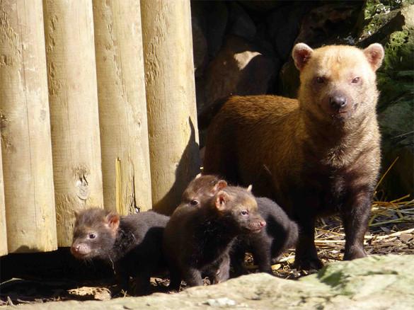 Bush dog babies