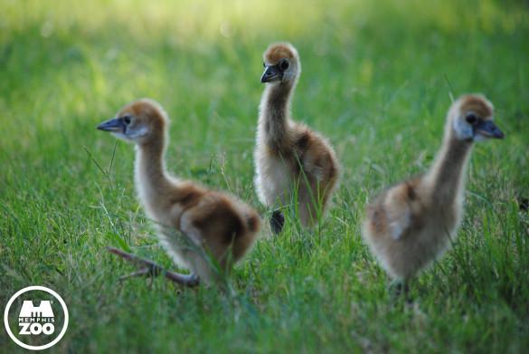 Three crane chicks