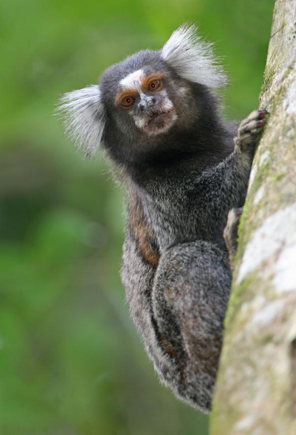 Are you as polite as this marmoset monkey? Photo credit: BirdPhotos.com.