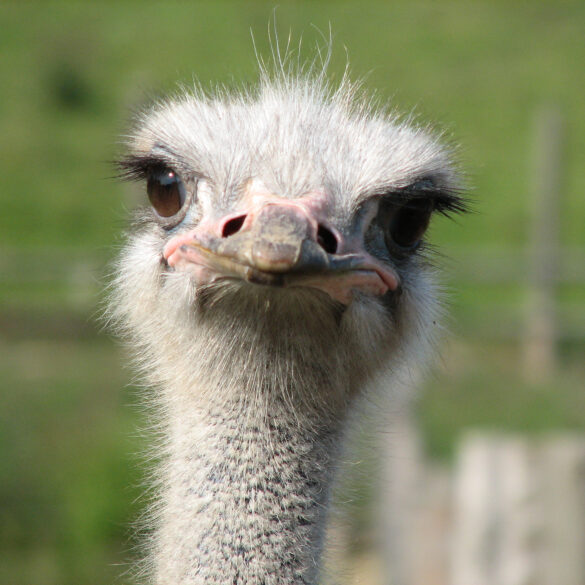 Ostrich Facts Ostriches African Animals