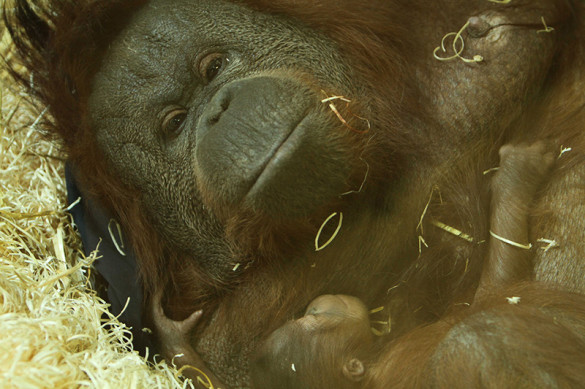 Bornean orangutan mother and baby