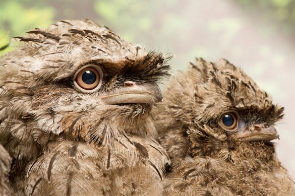 Tawny frogmouth chicks