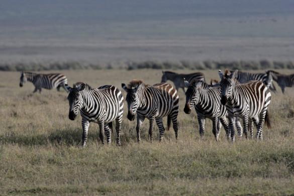 Plains zebra herd