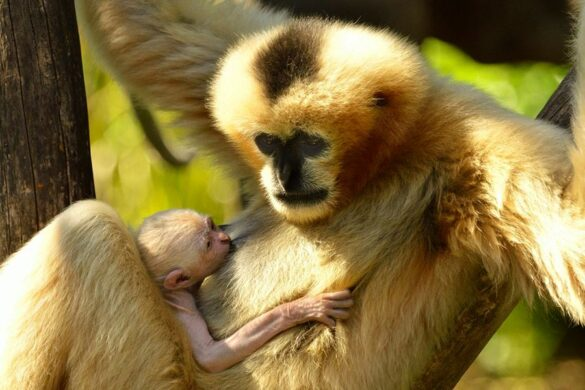 White cheeked gibbon baby