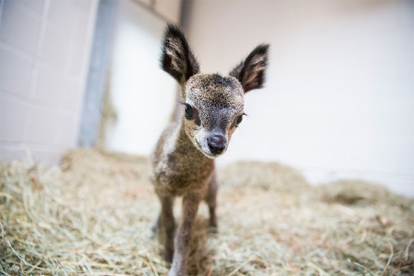 Baby klipspringer makes her first leaps and bounds at Lincoln Park Zoo. Photo by Lincoln Park Zoo.