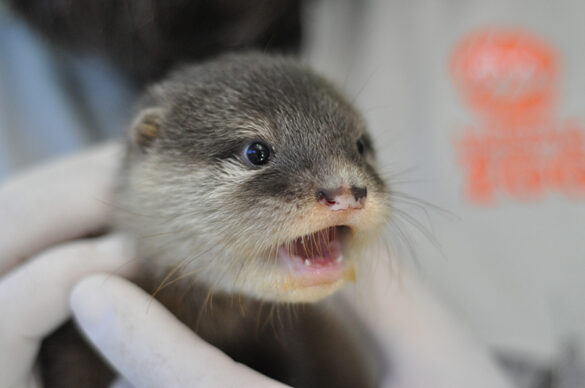 Otter pup at Taronga Western Plains Zoo.