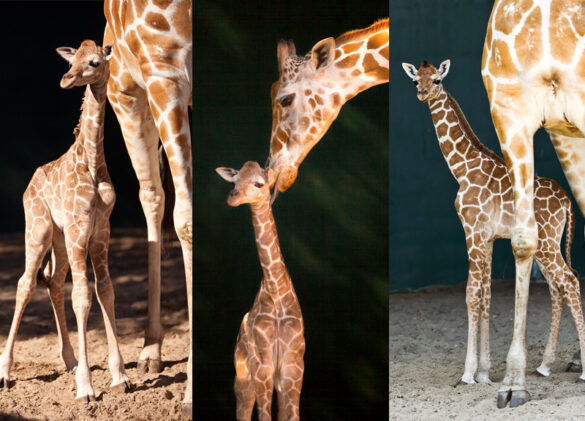 Giraffe babies at Busch Gardens.